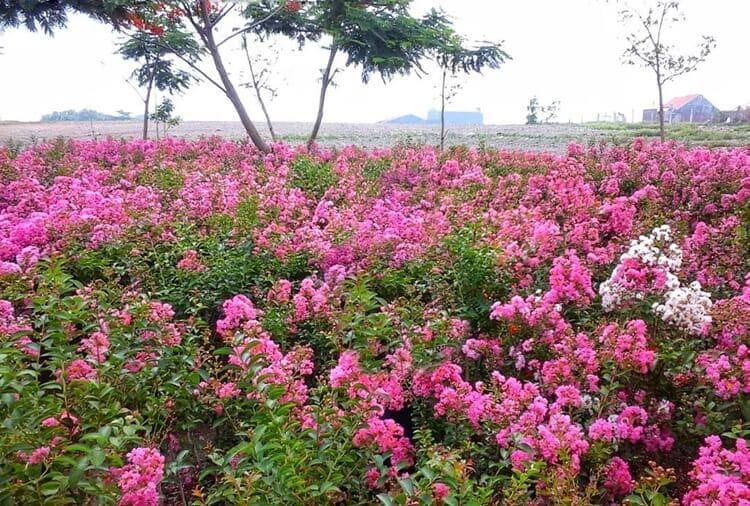 taman sakura keputih, objek wisata surabaya yang eksotis, romantis dan kekinian