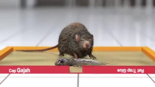 cara usir tikus dengan lem tikus cap gajah