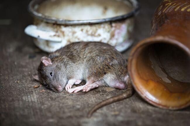 tips trik dan cara usir tikus di dalam rumah secara alami yang efektif dan ampuh