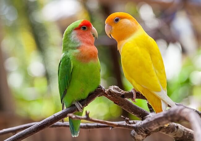 apa itu burung lovebird