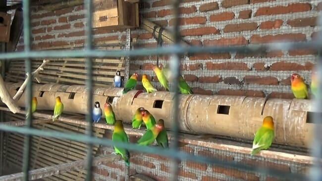 peluang usaha dan cara budidaya ternak burung lovebird untuk pemula terlengkap