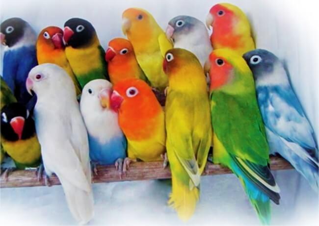 daftar jenis dan harga burung lovebird terbaru