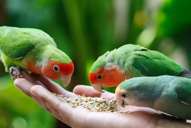 daftar makanan untuk budidaya ternak lovebird