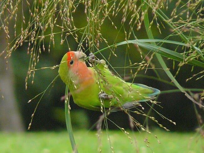 makanan burung lovebird di habitat alami