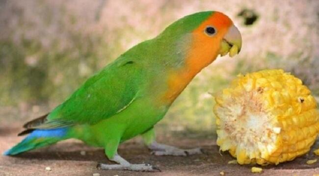 makanan tambahan untuk budidaya ternak lovebird