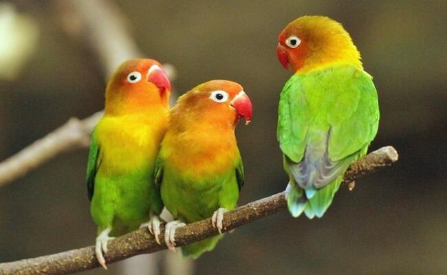 peluang bisnis dan cara budidaya ternak burung lovebird
