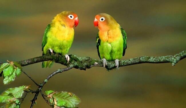 peluang usaha budidaya ternak lovebird terbaru