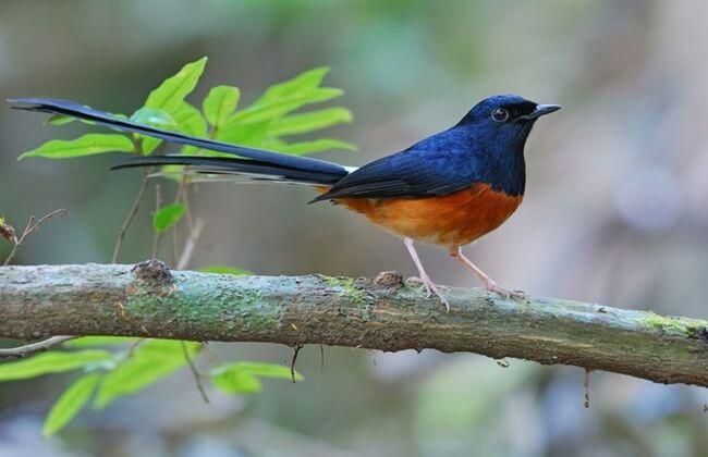apa itu burung murai batu
