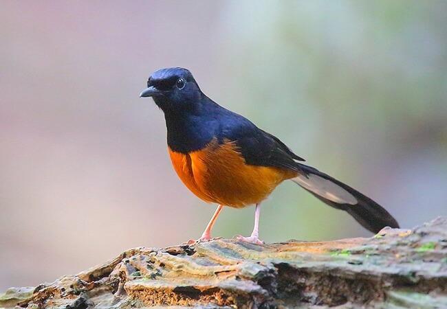 prospek ternak burung murai batu di indonesia