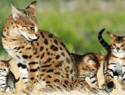 11 Cara Merawat Kucing Hutan Agar Sehat & Jinak Untuk Pemula