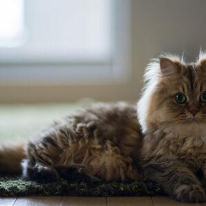 10 Cara Merawat Kucing Persia Bagi Pemula Ala Cattery