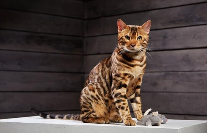 jenis kucing hutan