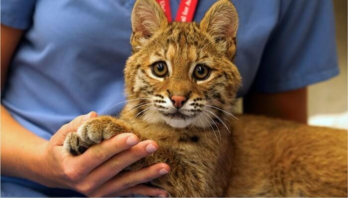 cara menjinakkan kucing hutan