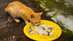 stop berikan kucing nasi jika kamu tak ingin terjadi hal ini